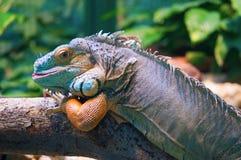 Leguana Obrazy Royalty Free