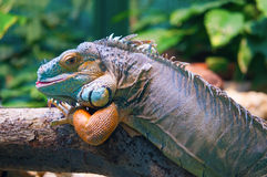 Leguana. On a tree in zoo royalty free stock images