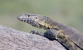 Leguane представляя в национальном парке Kruger стоковые изображения