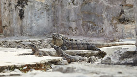Leguane auf einem Felsen Stockfotos