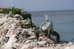 Leguane, die auf Felsen gehen stockfotos