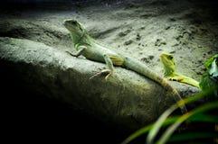 Leguane, die den Sun auf einem Felsen nehmen Stockfotografie