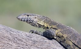 Leguane que levanta no parque nacional de Kruger Imagens de Stock