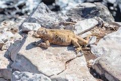 Leguanen av Galapagosen som sätta sig på, vaggar royaltyfria bilder