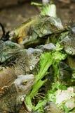 Leguanen die in Ecuador voeden Stock Afbeeldingen