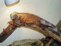 Leguanen ligger på en trädstam Arkivfoton