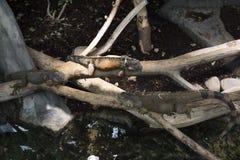 Leguanen op de takken van een boom stock afbeelding