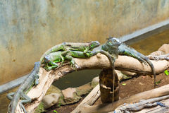 Leguanen op een Logboek stock afbeelding