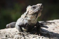 Leguanen på grå färger vaggar Royaltyfri Bild