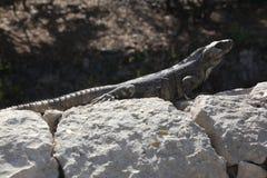 Leguanen på grå färger vaggar Royaltyfri Foto
