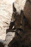 Leguanen på grå färger vaggar Royaltyfri Fotografi
