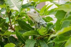 Leguanen på trädet Fotografering för Bildbyråer