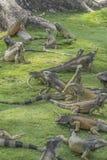 Leguanen parkerar Guayaquil Ecuador royaltyfria bilder