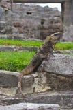 Leguanen som vilar i mayan, fördärvar fotografering för bildbyråer