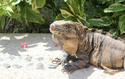 Leguanen värma sig i solen Arkivfoton
