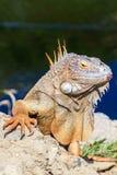 Leguanen vaggar på Arkivbild