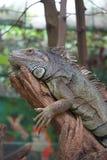Leguanen vilar på filialen royaltyfri bild