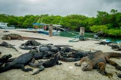 Leguaner som vilar i Santa Cruz galapagos öar Arkivfoton