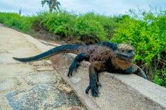 Leguaner som vilar i Santa Cruz galapagos öar Royaltyfria Foton