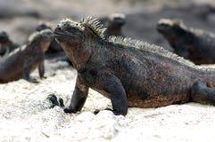 Leguaner upp uppemot en strand Arkivbild