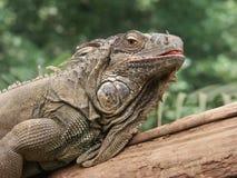 Leguans head Stock Image