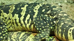 Leguantier im Zoo stock video footage