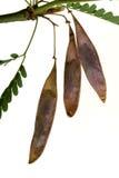 Legumbres de Palo Verde Fotos de archivo