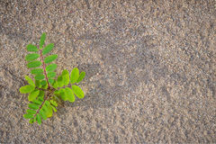 The legume plant on the sand.1. The legume plant on the sand Royalty Free Stock Photography