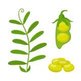 Legume plant, soybeans, green lentil bean. Vector illustration. Legume plant, soybeans, lentil bean. Made in cartoon flat style. Vector illustration vector illustration