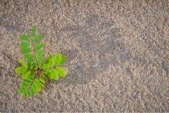 Legume roślina na piasku 1 fotografia royalty free
