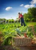 Legumes frescos na cesta que coloca no jardim Foto de Stock