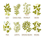Legumes plants with leaves, pods and flowers. Vector illustration Royalty Free Stock Photo