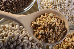 Legumes. A wooden spoon of barley with glass bowls of lentils Brolotti beans spelt and barley Royalty Free Stock Photo