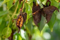 Legumi populneus del Brachychiton dall'albero della bottiglia o di Kurrajong immagine stock