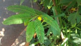 Leguminosa当地人向有黄色花的巴西 库存图片