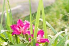 Leguminosae purpurea Bauhima linn ροζ ή ροδανιλίνη στοκ φωτογραφίες