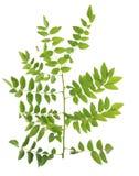 Leguminosae twig leaves macro isolated on white background Stock Image