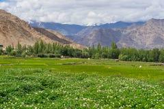 Leh美好的风景在呈绿色季节或夏天,拉达克, Ind 库存照片