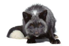 Lehnen des silbernen Fuchses Lizenzfreie Stockfotos