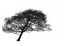 Lehnender Weißdorn-Baum Stockfoto