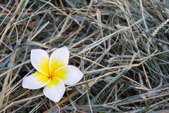 Lei Flower Arkivfoton