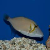 Lei triggerfish Στοκ Εικόνες
