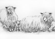 Leicester long wool sheep illustration Stock Photos