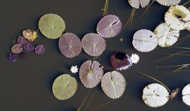 睡莲叶在Leichhardt盐水湖 免版税库存图片