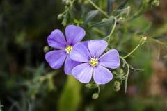 Leicht blaue Flachsblumen auf einem dunkelgrünen Hintergrund stockfotos