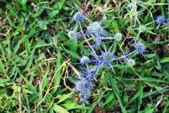 Leicht blaue stachelige Blume unter dem Gras lizenzfreie stockfotografie