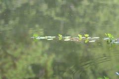 Leicht plätschernder See, der die grünen Bäume, halbiert durch eine kleine Spur von Wasserpflanzen reflektiert Lizenzfreies Stockfoto