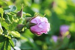 Leicht rosa Knospe des blühenden dogrose Rosa auf einer Niederlassung im Sommer Lizenzfreies Stockbild