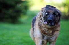 Leicht schlagen weg von schönem jungem Schäferhund Dog Close Up Browns stockbild
