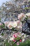Leichte Apfelblüten Stockfotos